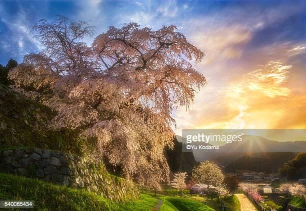 300 years old sakura tree