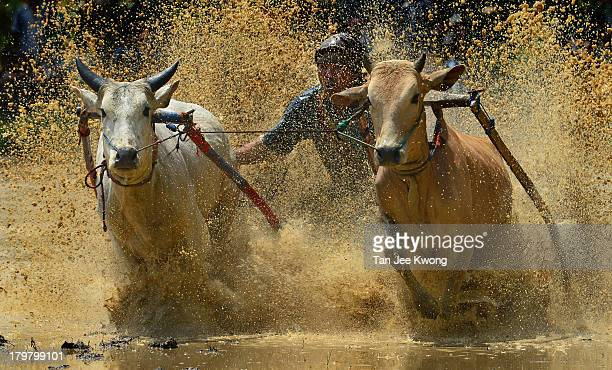Years tradition where jockeys race their bulls to celebrate the end of rice harvesting.