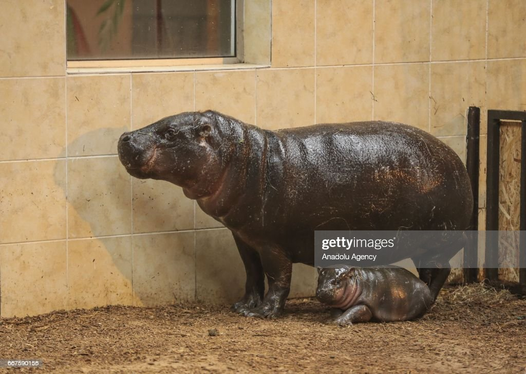 7 years-old pygmy hippo 'Malya' and its newborn baby 'Mela' are seen at Faruk Yalcin Zoo and Botanic Park in Kocaeli, Turkey on April 12, 2017. The newborn pygmy hippo 'Mela' can be visited when it completes its process of adaptation.