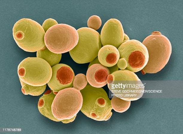 yeast cells, sem - model organism stock pictures, royalty-free photos & images