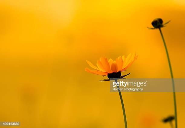 Yello flower marie