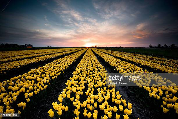 Yello tulip field in the Netherlands during sunset