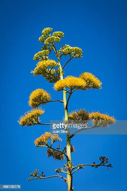 Yellow agave flower, Miami, FL, USA