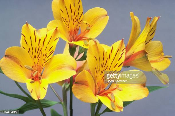 yellow alstroemeria flowers - alstroemeria stock pictures, royalty-free photos & images