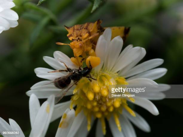 Yellow Ambush Bug Eats Wasp on white aster