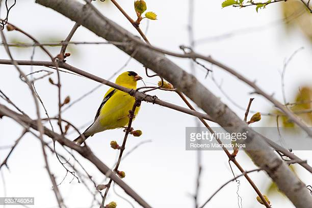 Yellow American Goldfinch perched on blooming thin tree branch due to spring time