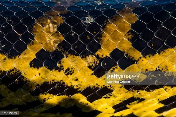 yellow anaconda (eunectes notaeus), detail, scales and skin, pantanal, aquidauana, mato grosso do sul, brazil - black snake stock pictures, royalty-free photos & images