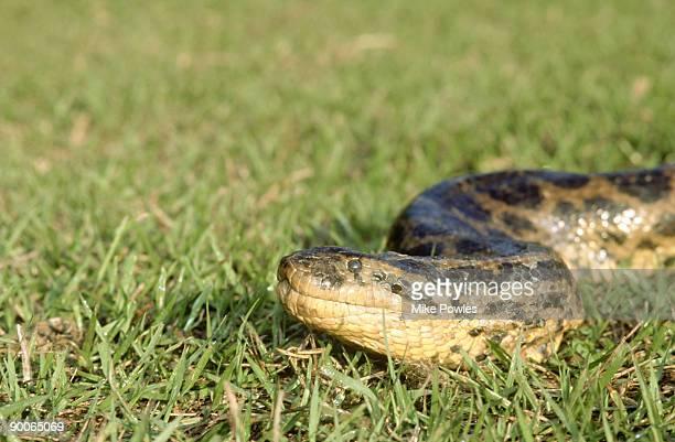 yellow anaconda, eunectes notaeus, brazil - anaconda snake stock pictures, royalty-free photos & images