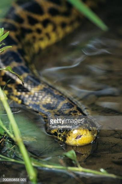 yellow anaconda (eunectes notaeus) in water, vertical view - anaconda snake stock pictures, royalty-free photos & images