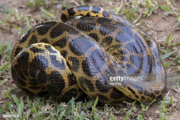 Yellow Anaconda Pantanal Brazil