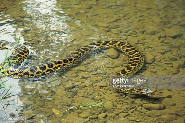 yellow anaconda (eunectes notaeus) partially underwater, brazil - anaconda snake stock photos and pictures