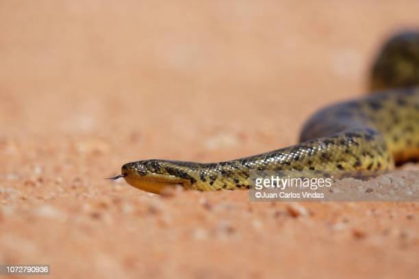 yellow anaconda (eunectes notaeus) - anaconda snake stock photos and pictures