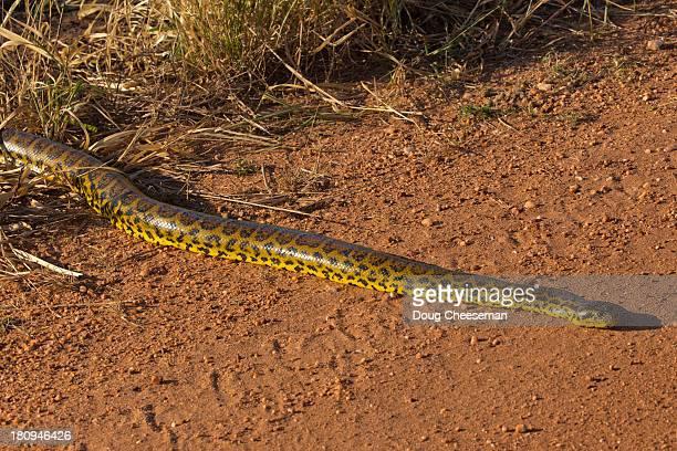 yellow anaconda - anaconda snake stock photos and pictures