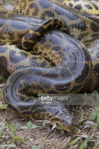 yellow anaconda - anaconda snake stock pictures, royalty-free photos & images
