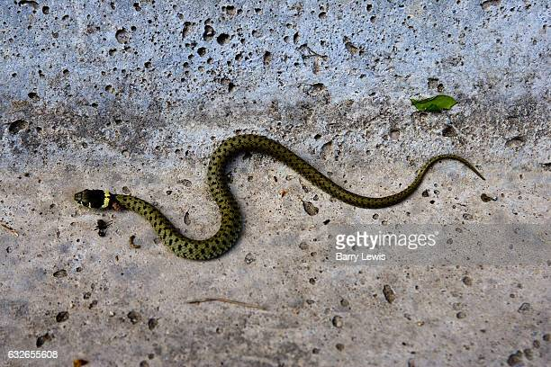 Yellow and blackdotted grass snake in water culvert 16th April 2007 Lagrasse France