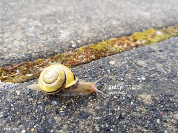 yellow and brown shell snail - garden snail stock photos and pictures