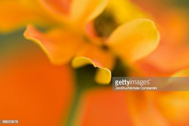 Yellow and orange flower, extreme close-up