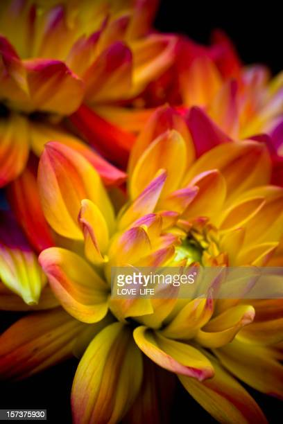 A yellow and pink Dahlia flower