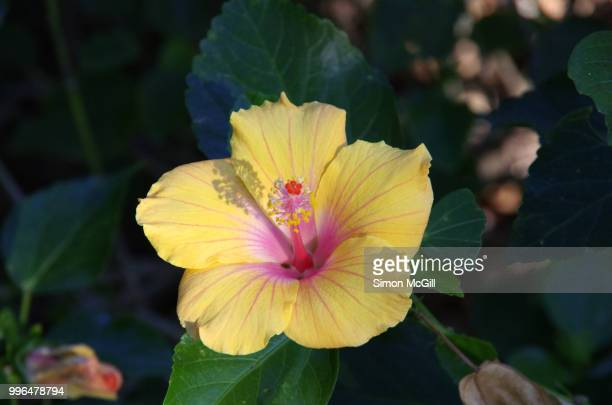 Yellow and pink hibiscus flower in bloom