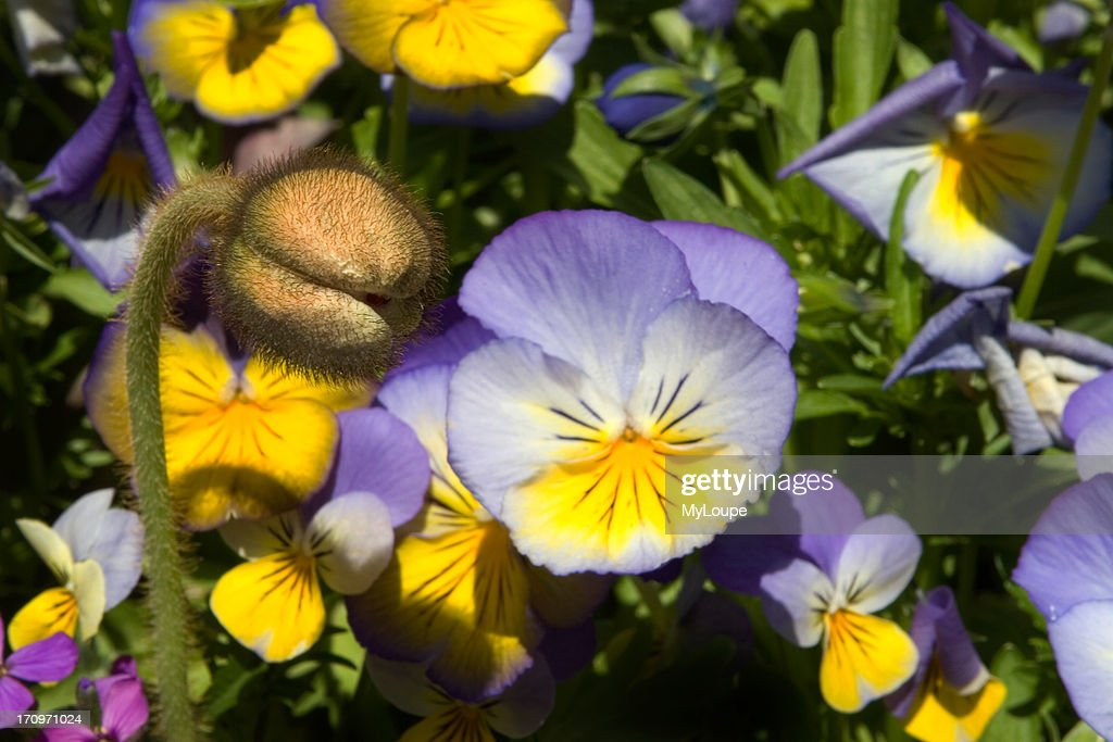 yellow and purple poppies in full bloom garden in springtime in