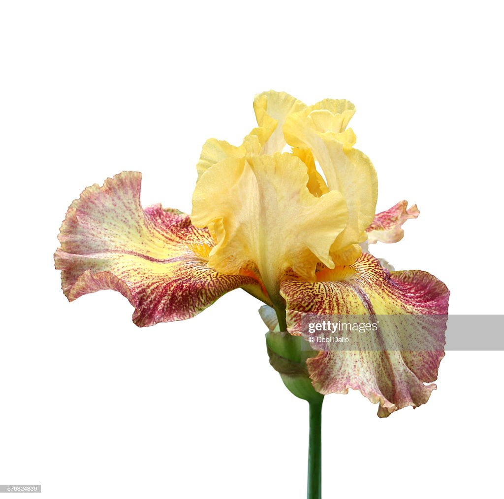 Yellow and red iris flower blossom on stalk stock photo getty images yellow and red iris flower blossom on stalk stock photo izmirmasajfo Images