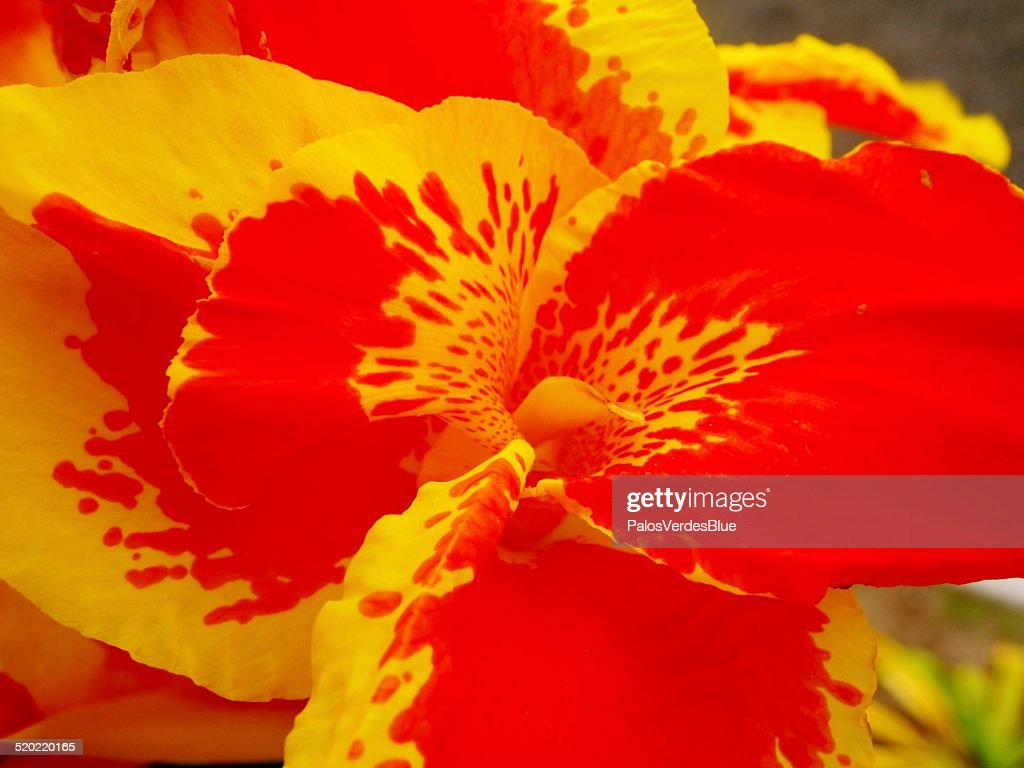 Yellow And Red Iris Flower Puerto Cayo Ecuador Stock Photo Getty