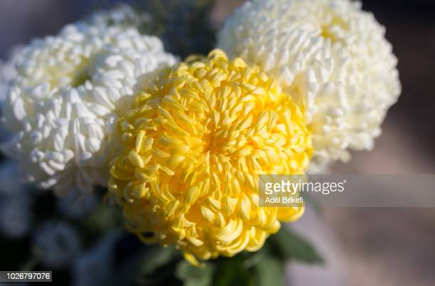 yellow and white chrysanthemum - chrysanthemum stock pictures, royalty-free photos & images