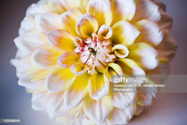 yellow and white dahlia - vanessa van ryzin 個照片及圖片檔