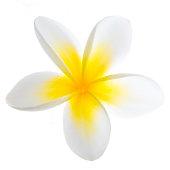 A yellow and white frangipani flower