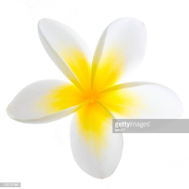 A yellow and white frangipani flower