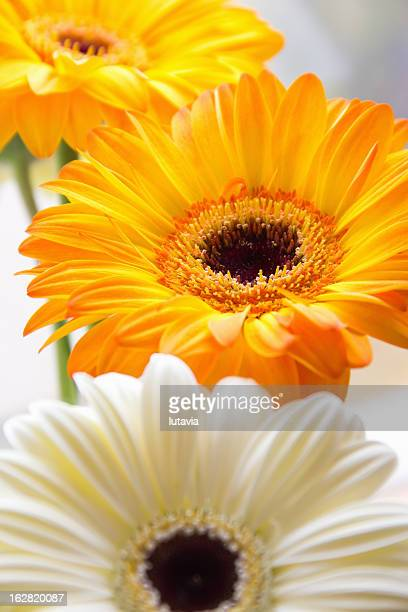 yellow and white gerbera - lutavia stock pictures, royalty-free photos & images
