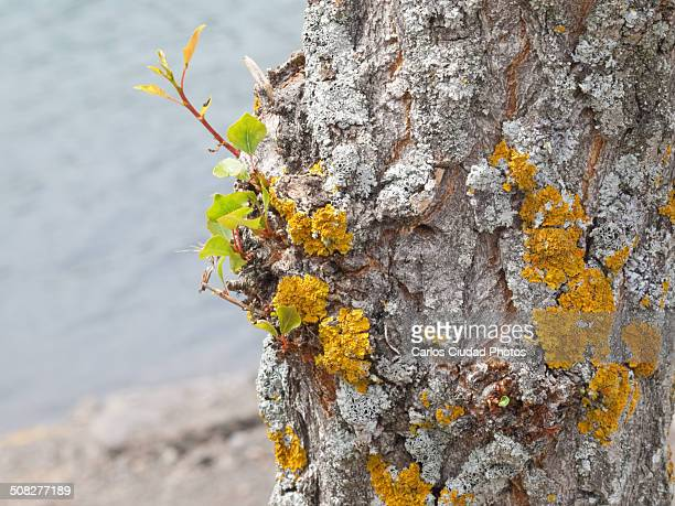 Yellow and white lichens on poplar trunk