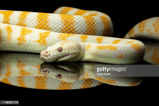 yellow and white striped albino darwin python snake against a black background - ヘビ柄 ストックフォトと画像