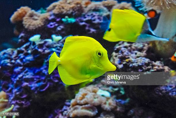 Yellow Angelfish with long nose butterfly fish