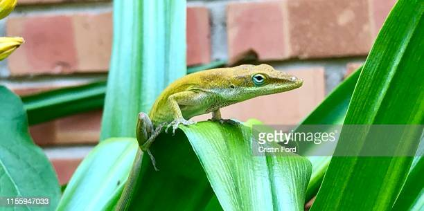 yellow anole - anole lizard stock pictures, royalty-free photos & images