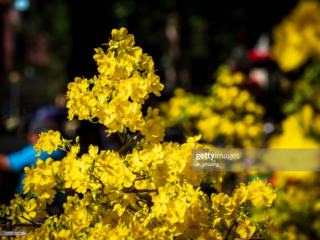 Yellow Apricot Flowers (Vietnamese Hoa Mai) : Stock Photo