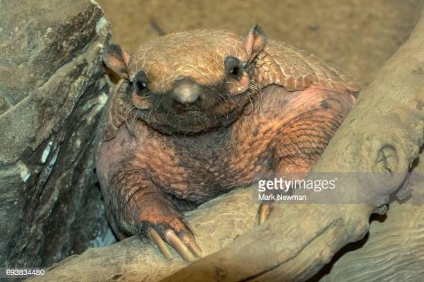 yellow armadillo - armadillo stock pictures, royalty-free photos & images