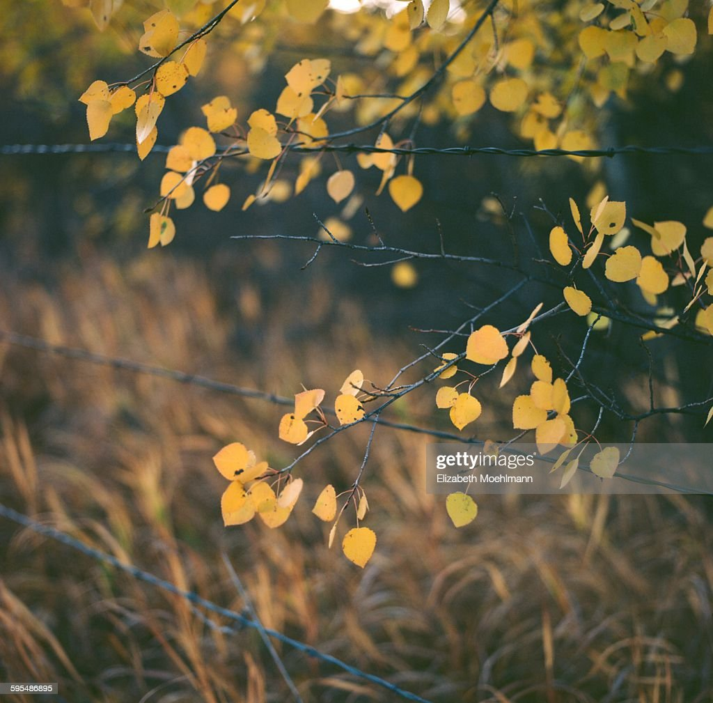 Yellow Aspen Leaves Over Wire Fence Stock Photo | Getty Images