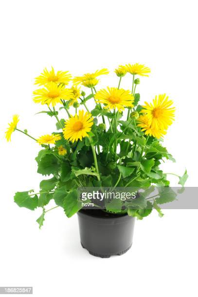 yellow aster daisy Leopard's Bane ( oronicum orientale) flower isolated
