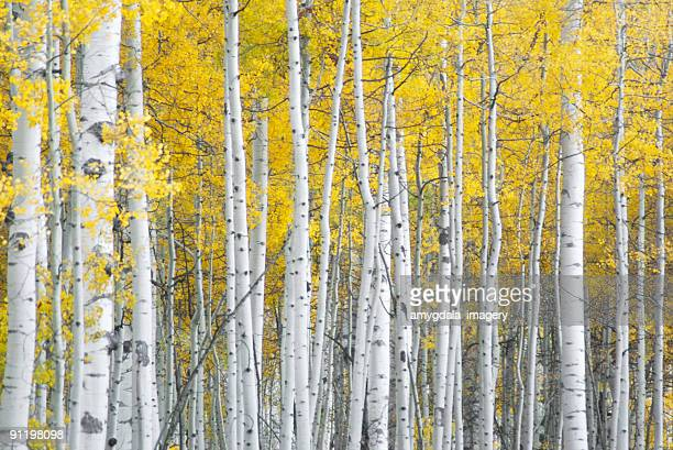 yellow autumn aspen leaves and white trunks patterns