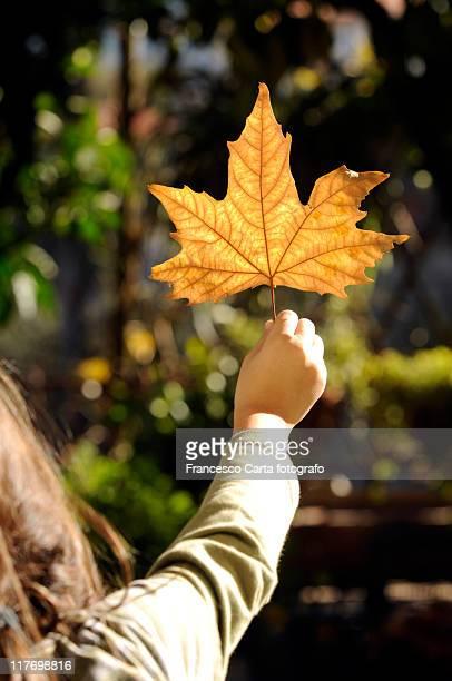 yellow autumn leaf - tempio pausania stock-fotos und bilder