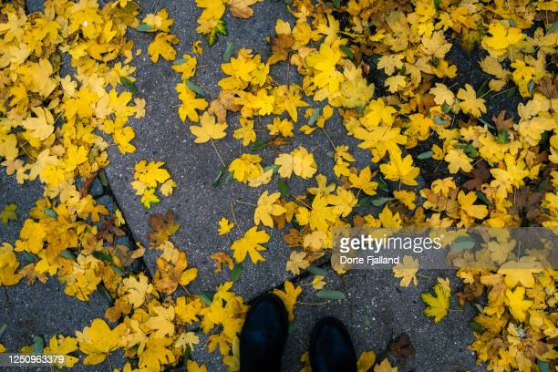 yellow autumn leaves on a grey sidewalk - paving stone stock pictures, royalty-free photos & images