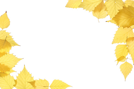 Yellow autumn leaves on a white background - gettyimageskorea