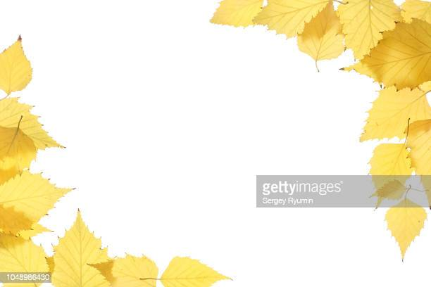 yellow autumn leaves on a white background - autumn falls stock pictures, royalty-free photos & images