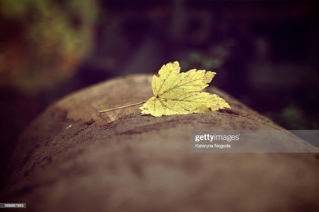 Yellow autumn maple leaf : Stock Photo