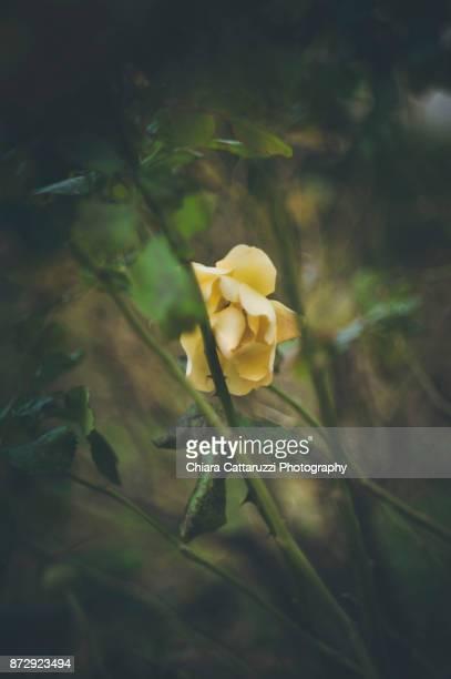 A yellow autumn rose flower