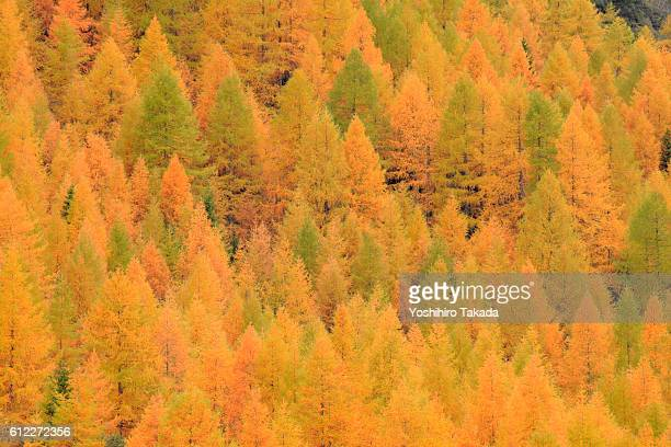 yellow autumnal larch trees - larch tree stock pictures, royalty-free photos & images