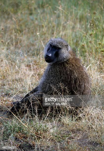 Yellow baboon Cercopithecidae