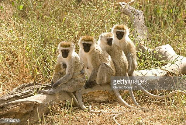 yellow baboon (papio cynocephalus) group sitting on log, aberdare, kenya - baboon stock pictures, royalty-free photos & images