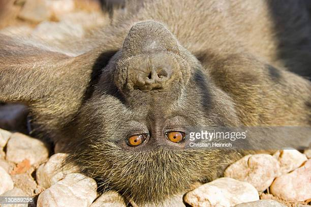 yellow baboon (papio cynocephalus) laying on its back on rocks, namibia, africa - baboon stock photos and pictures